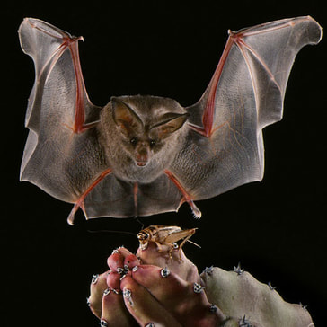 A California leaf-nosed bat catching a cricket in Mexico. Photo by Merlin Tuttle.
